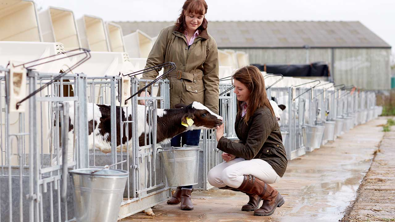 Image description: Two female students with dairy calves.