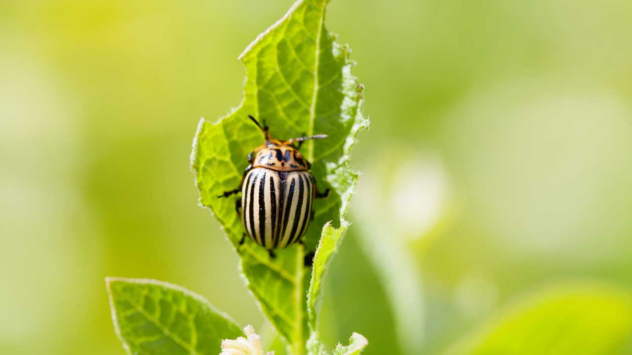 Colorado potato beetle on damaged green leaf
